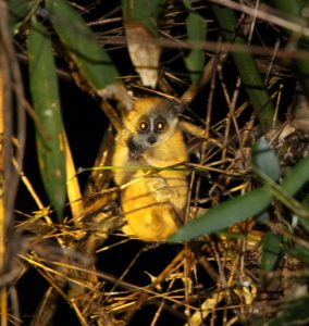 Improving conservation of endangered lorises (Nycticebus spp.) in Vietnam