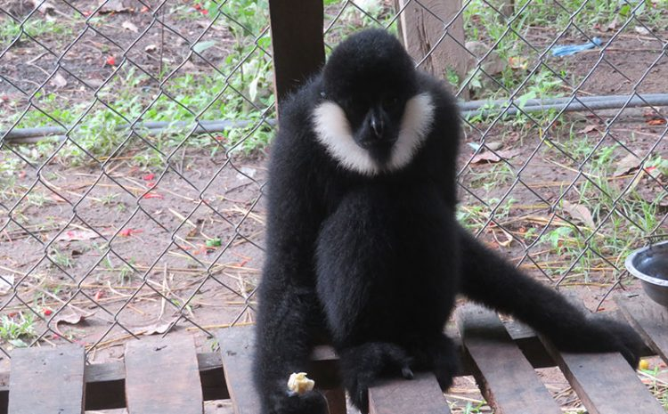Northern white-cheeked gibbon (Nomascus leucogenys) conservation in Pu Hoat nature reserve