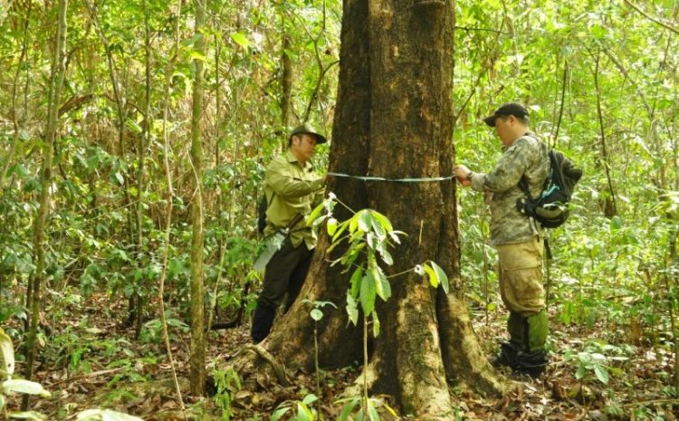 Study on distribution and natural regeneration of Dalbergia cochinchinensis and Dalbergia oliveri in Dong Nai and Dak Lak provinces