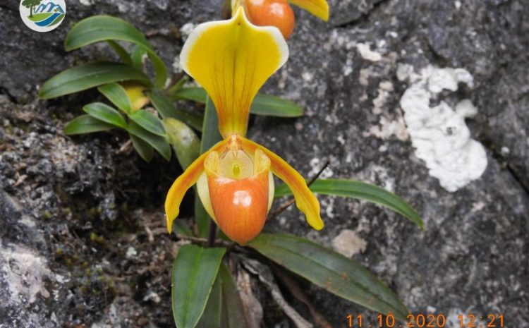 Study on population and distribution of Paphiopedilum helenae Aver. in Trung Khanh district, Cao Bang province