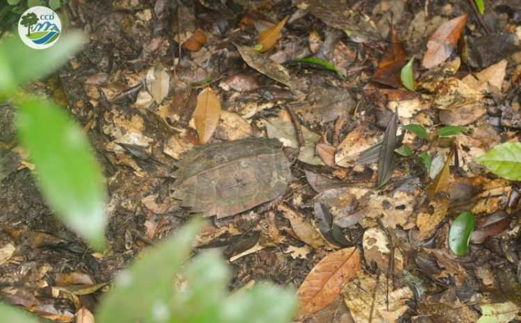 Turtles and tortoises conservation in Xuan Lien Nature Reserve