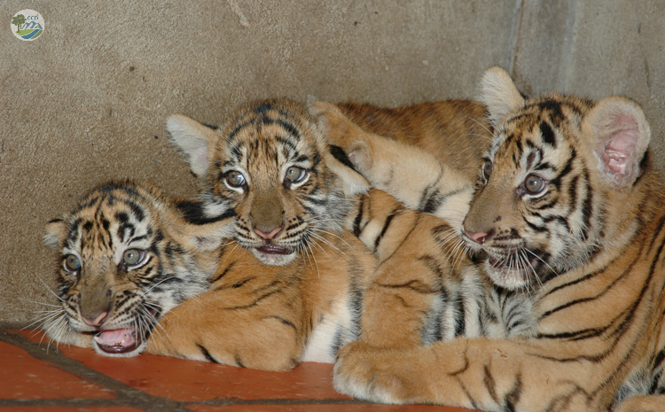 Tiger poaching and illegal farming
