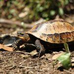 Rùa là một trong những nhóm động vật đang bị buôn bán bất hợp pháp nhiều nhất.