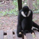 Bảo tồn Vượn đen má trắng (Nomascus leucogenys) ở Khu Bảo tồn Thiên nhiên Pù Hoạt