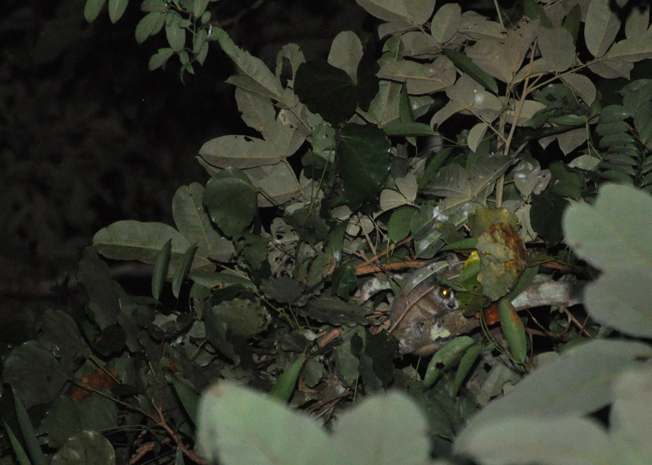 Nghiên cứu về các loài Culi ở Khu bảo tồn Thiên nhiên Xuân Liên