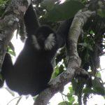 Giá trị của vùng cảnh quan Xuân liên – Pù Hoạt đối với công tác bảo tồn loài Vượn đen má trắng (Nomascus leucogenys) ở Việt Nam