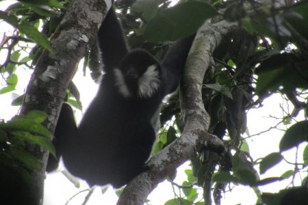 Values of Xuan Lien – Pu Hoat forest landscapes for the conservation of northern white-cheeked gibbon in Vietnam