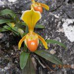 Nghiên cứu về phân bố và tình trạng quần thể Lan hài hê-len (Paphiopedilum helenae Aver.) tại huyện Trùng Khánh, tỉnh Cao Bằng
