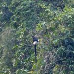 Urgent conservation action for the Critically Endangered Delacour's langur in Ha Nam province