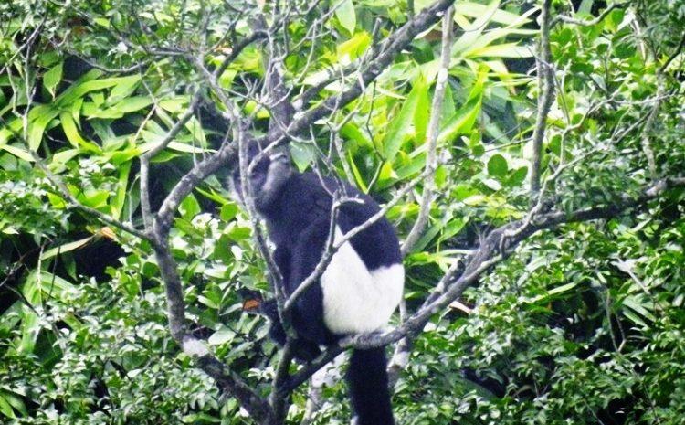 Cần bảo tồn khẩn cấp loài Voọc mông trắng tại Hà Nam